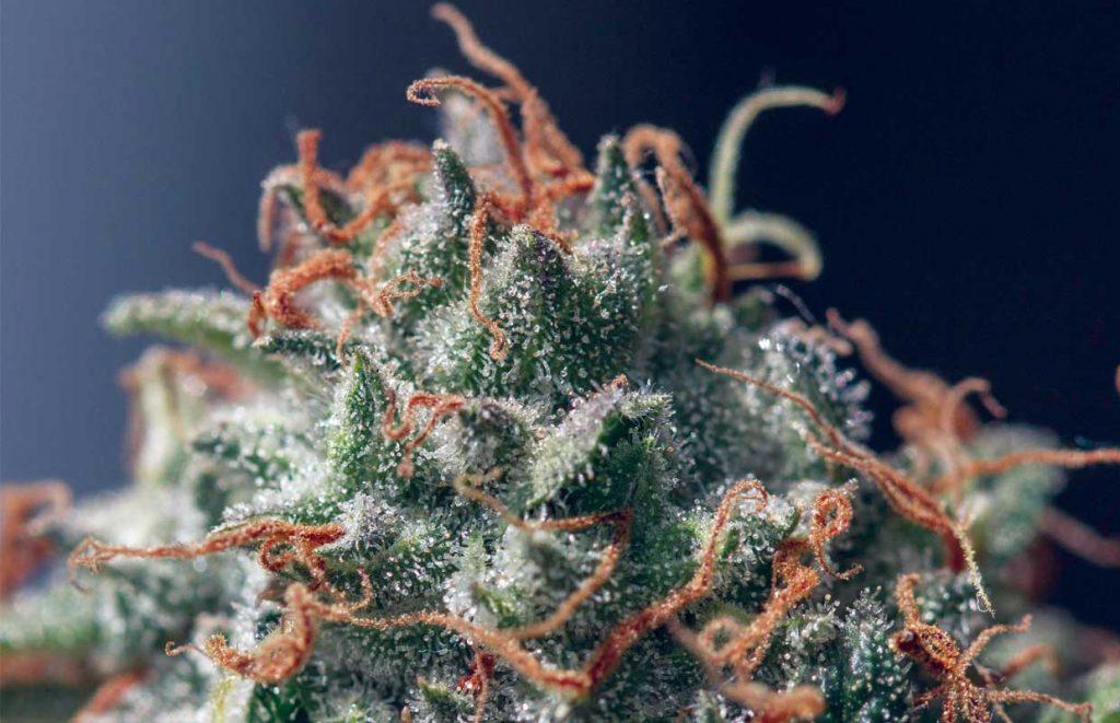 Cannabis-Nug-Macro-Herer@2x