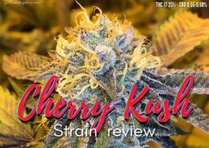 Cherry Kush strain review, cannabis, marijuana, weed, pot, plant