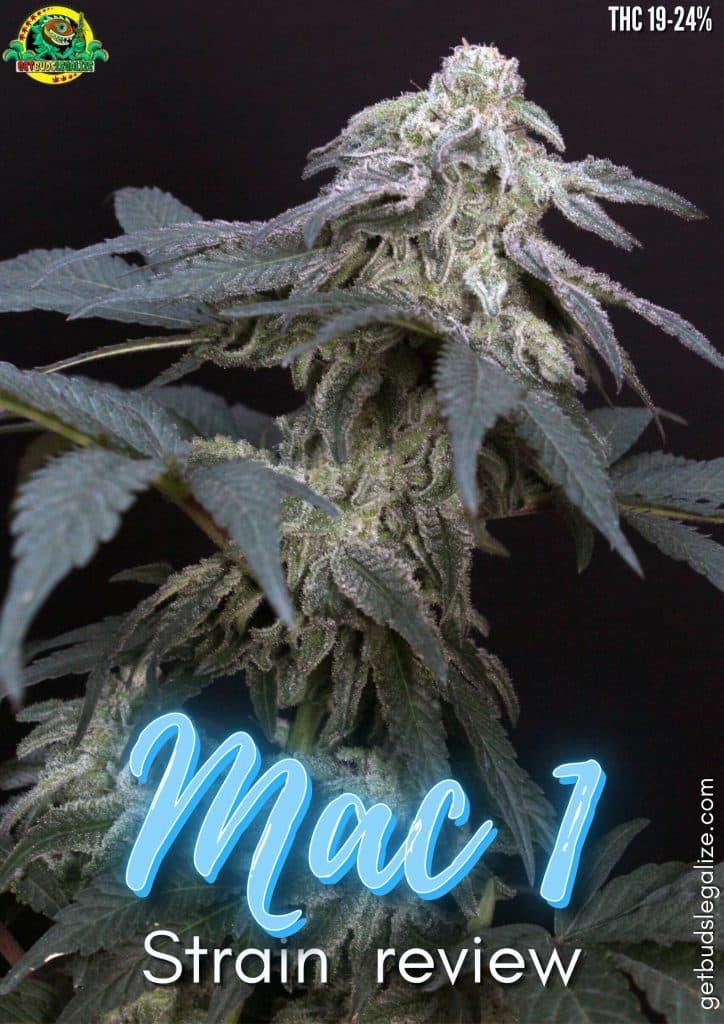 MAC 1 strain review, cannabis, marijuana, plant, pot, seeds, grow, flowering, yeald, buds