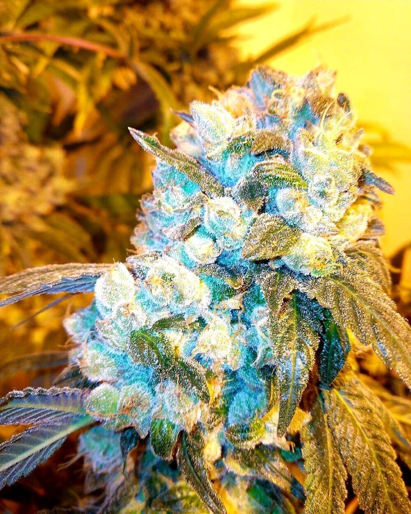 Orange Cookie Strain cannabis marijuana flower