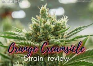 Orange Creamsicle strain review, cannabis, marijuana, weed, pot, plant