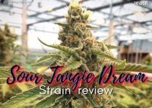 Sour Tangie Dream strain review, cannabis, marijuana, weed, pot, plant