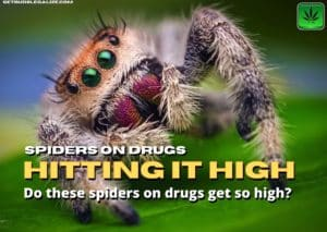 Spiders on drugs hitting it high, stoned, cannabis, marijuana, weed, pot, joint