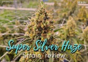 Super Silver Haze strain review, cannabis, weed, marijuana, plant