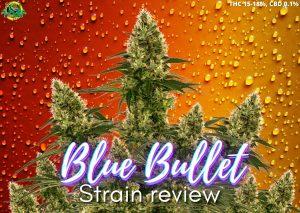 Blue Bullet strain marijuana review, sensi seeds, cannabis, weed, pot, plant