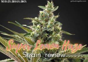 SUPER LEMON HAZE strain review, cannabis, marijuana, weed, pot, plant