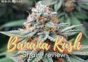 Banana Kush strain review, cannabis, marijuana, wee, pot, plant