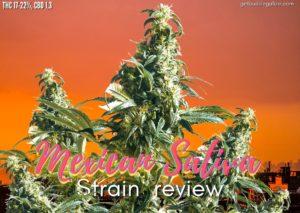 Mexican Sativa strain review, sensi seed, cannabis, marijuana, weed, pot, feminized