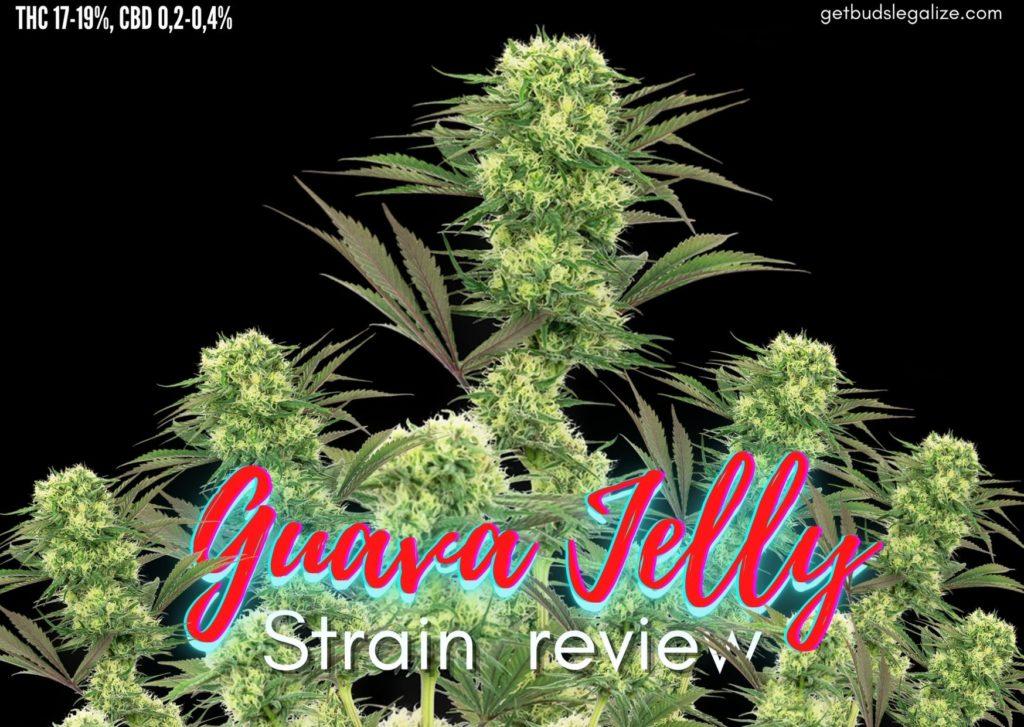 Guava Jelly strain review, sensi seed, marijuana, cannabis, weed, pot, madical,plant