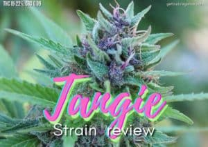 TANGIE strain review, cannabis, marijuana, weed, pot, plant