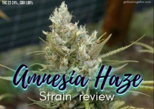 AMNESIA HAZE strain review, cannabis, marijuana, weed, pot, plant