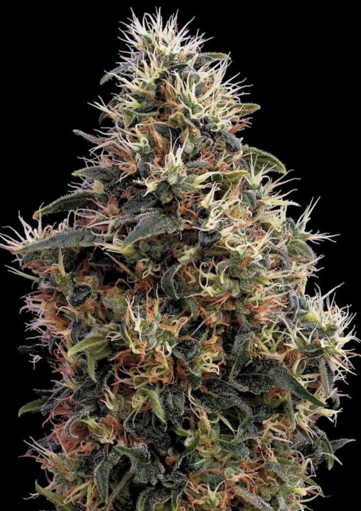 Mango Kush strain review, cannabis, marijuana, weed, pot, plant