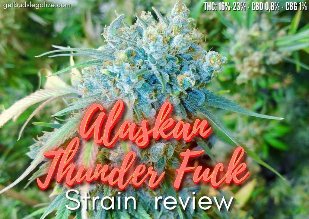 ATF strain (Alaskan Thunder Fuck) review, cannabis, marijuana, weed, pot, seeds, plant, flowering, yeald