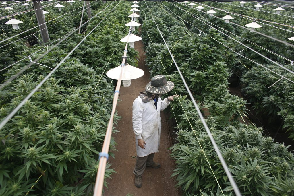 Efforts on Putting pressure on Medical Cannabis Research in Thailand