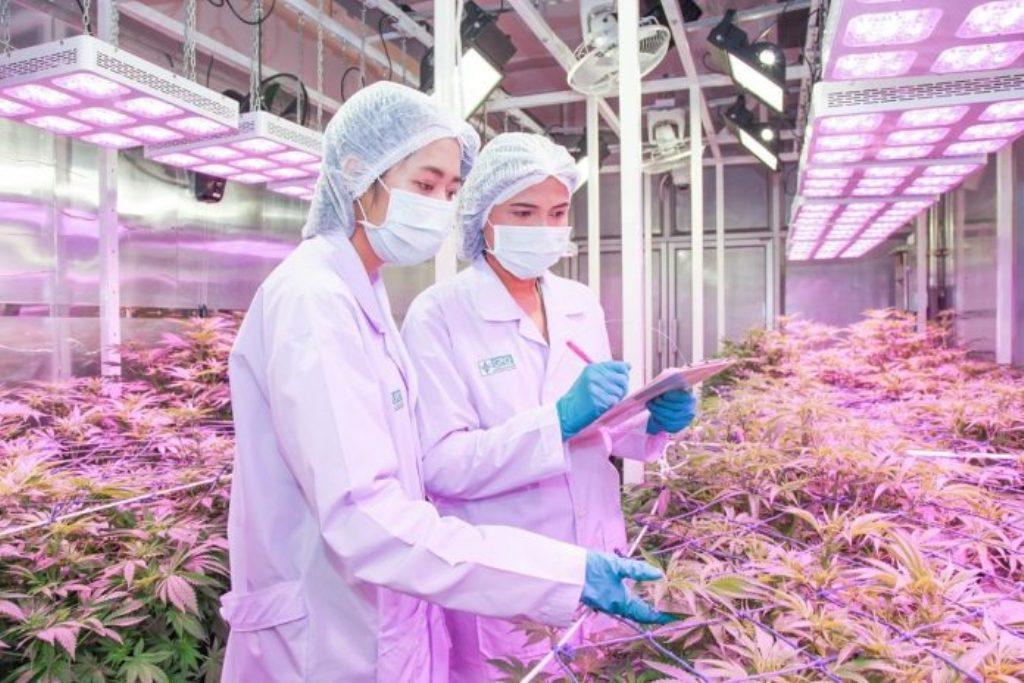 thailand cannabis medical research