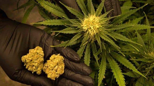 India's cannabis legalization