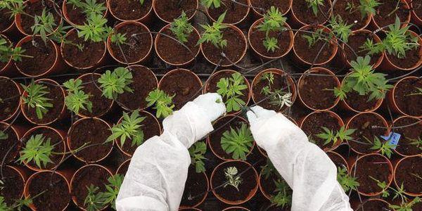 italian army growing cannabis