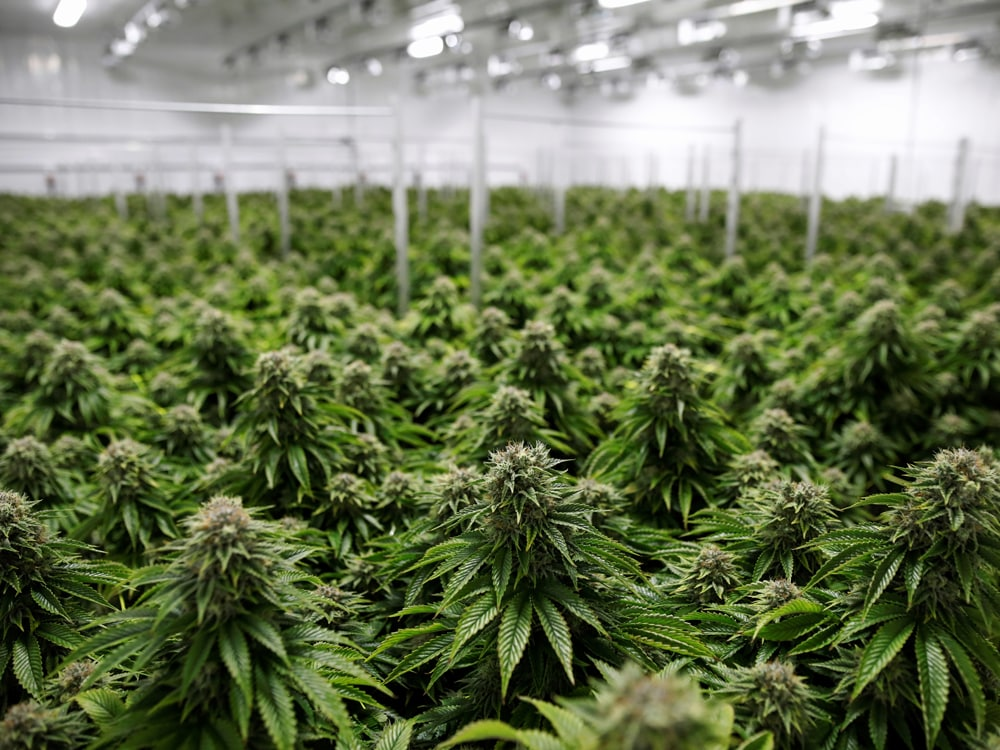 Oklahoma Medical Marijuana plantation