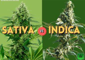 Sativa vs Indica Chart, strain, cannabis, marijuana, weed, pot