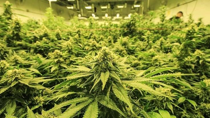 weed strain history skunk origin cannabis flower