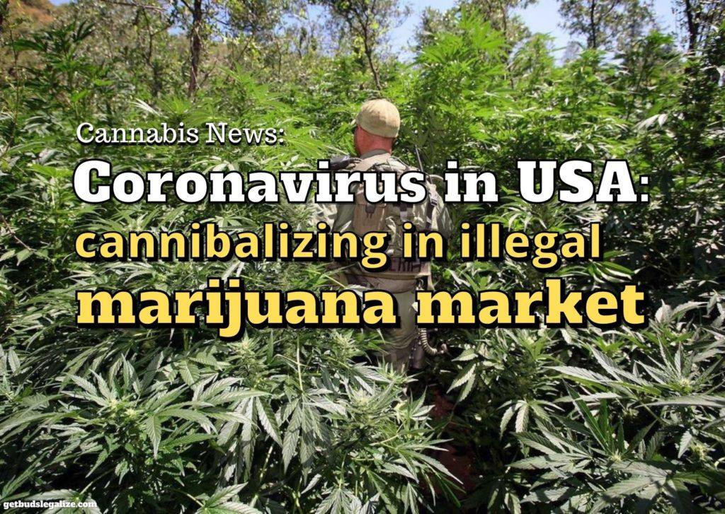 Coronavirus in USA: cannibalizing in illegal marijuana market, Cannabis news, marijuana USA, weed, pot, illegal, plantation
