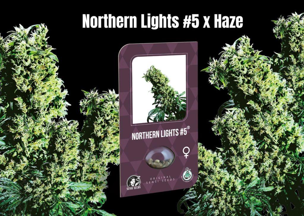 Northern Lights #5 x Haze, sensi seeds, cannabis, marijuana, weed, pot