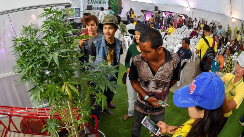 weed in Thailand, Cannabis, marijuana, pot, legalization, revolution, crop, asia cannabis, 2021