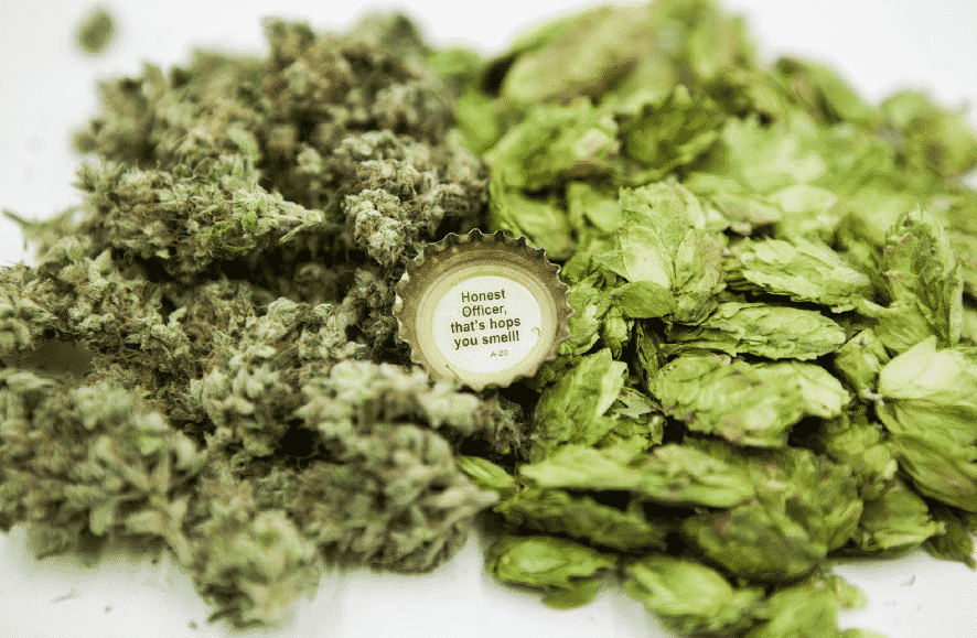 Brewing Marijuana: Weed beer, how to make it?, cannabis, marijuana, weed, pot, beer,make it,strains , hops