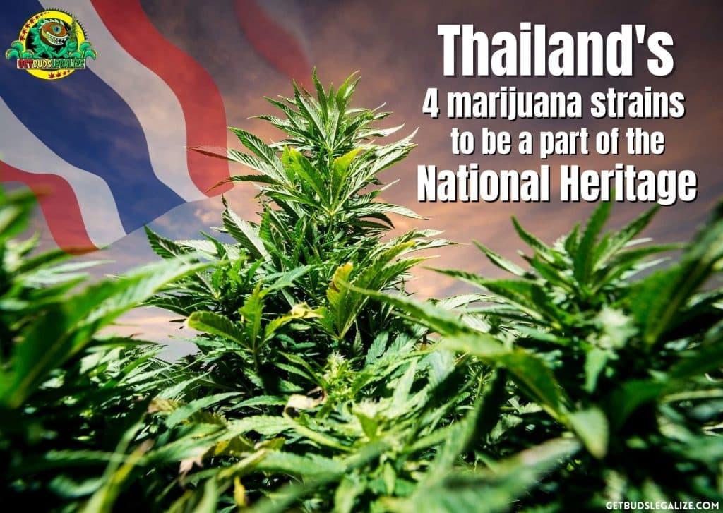 Thailand's 4 marijuana strains to be a part of the National Heritage, cannabis, marijuana, weed, pot, plant, medical