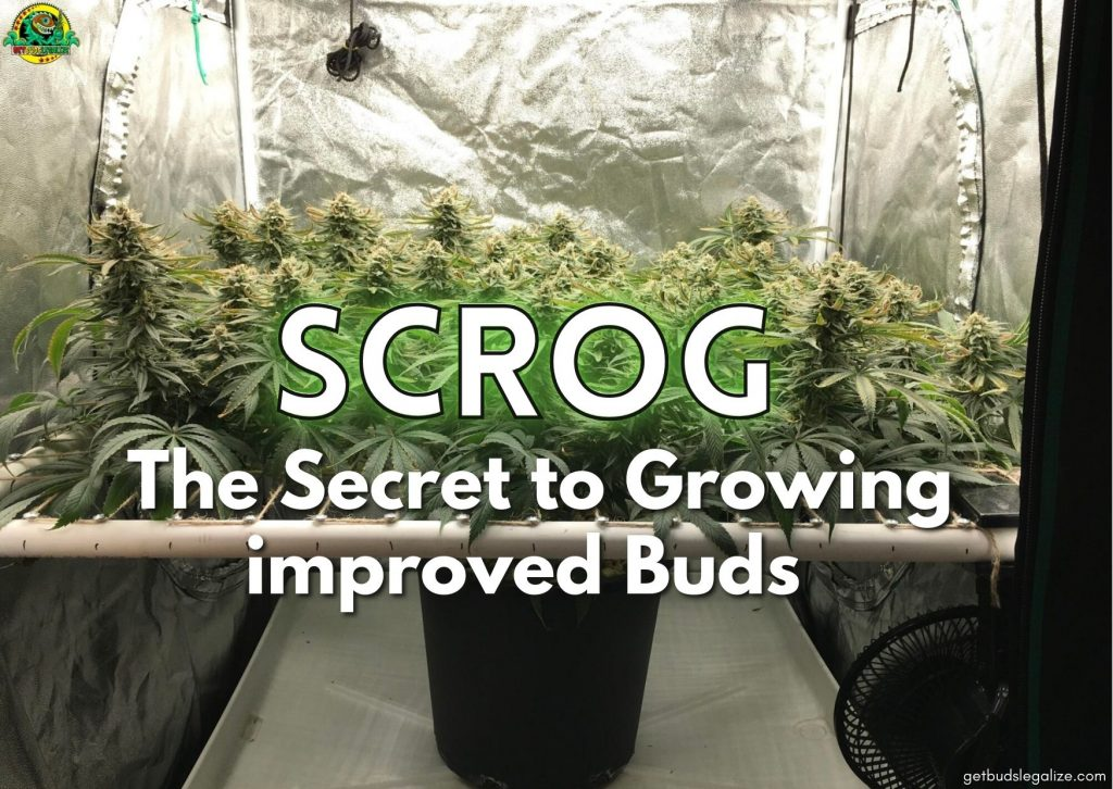 SCROG The Secret to Growing improved Buds, Everything You Need To Know, cannabis, marijuana, weed, pot, growing, flowering