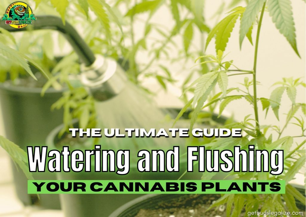 Watering and Flushing Your cannabis plants,Everything You Need To Know, cannabis, marijuana, weed, pot, growing, flowering